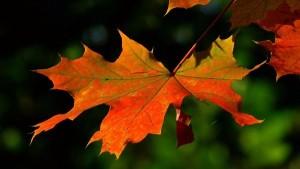 Beautiful Orange & Yellow Maple Leaf